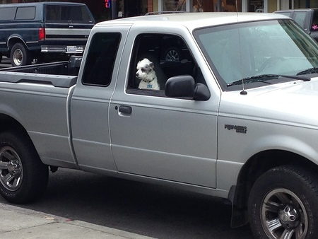 Cute dog protects truck in downtown Petaluma