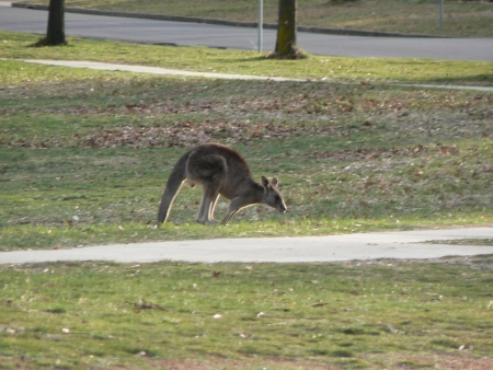 Kangaroos on Mount Ainslie in August 2006