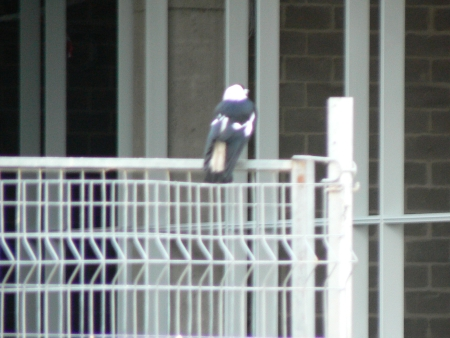 Magpie watching the Underground Cabling Building in August 2006