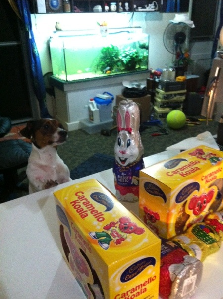 Pebbles investigating the Easter eggs