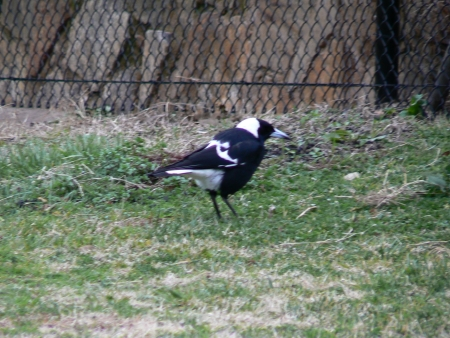 Magpie on Mount Ainslie in August 2006
